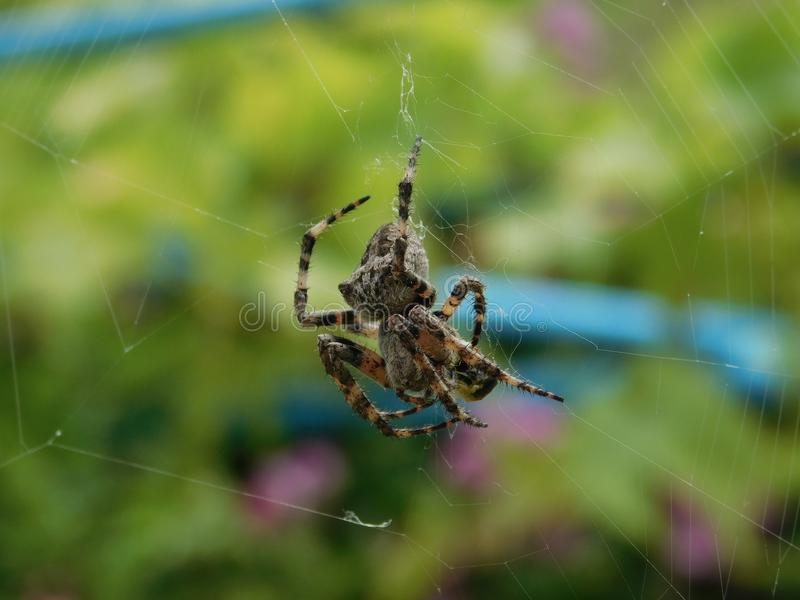 Interesting spider species. An interesting kind of spider living in the Crimea cross royalty free stock photo