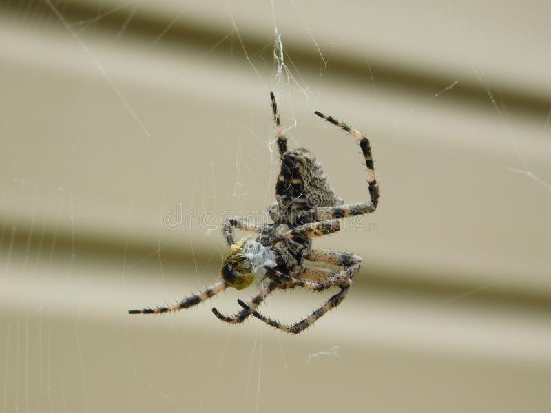 Interesting spider species. An interesting kind of spider living in the Crimea cross stock photo