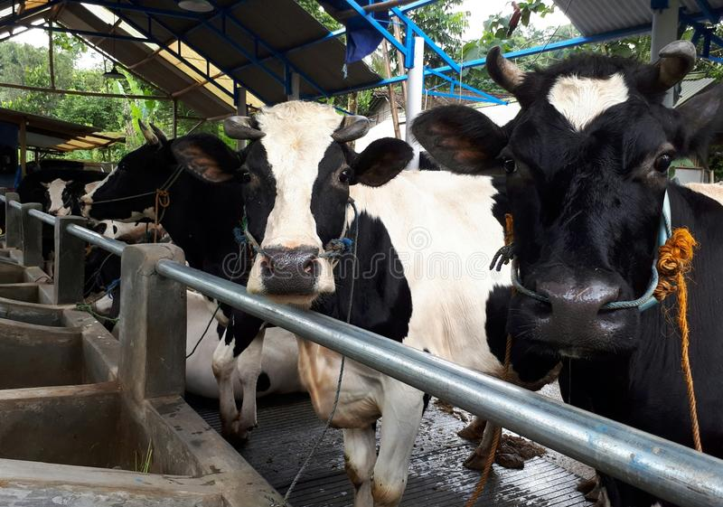 interesująca krowa zdjęcia stock
