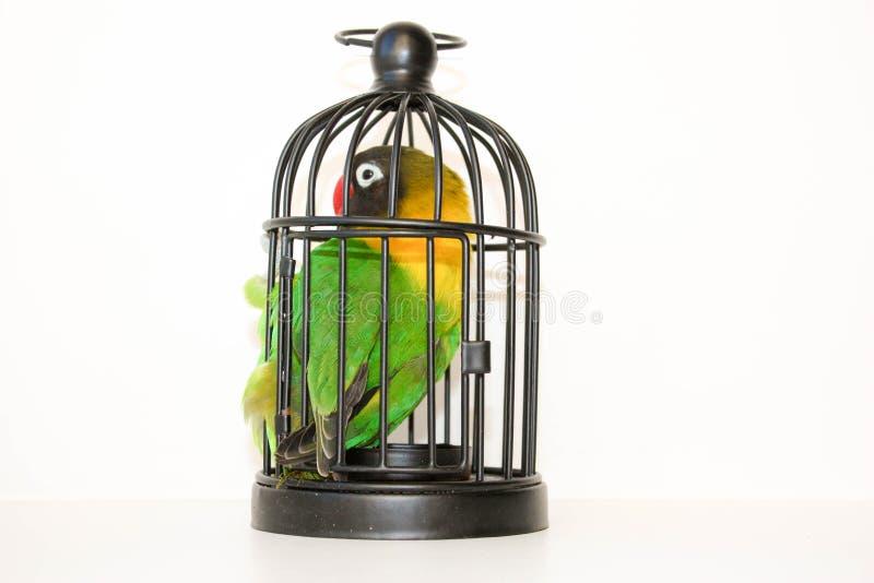 interferito Pappagallo in una gabbia su un bianco fotografia stock