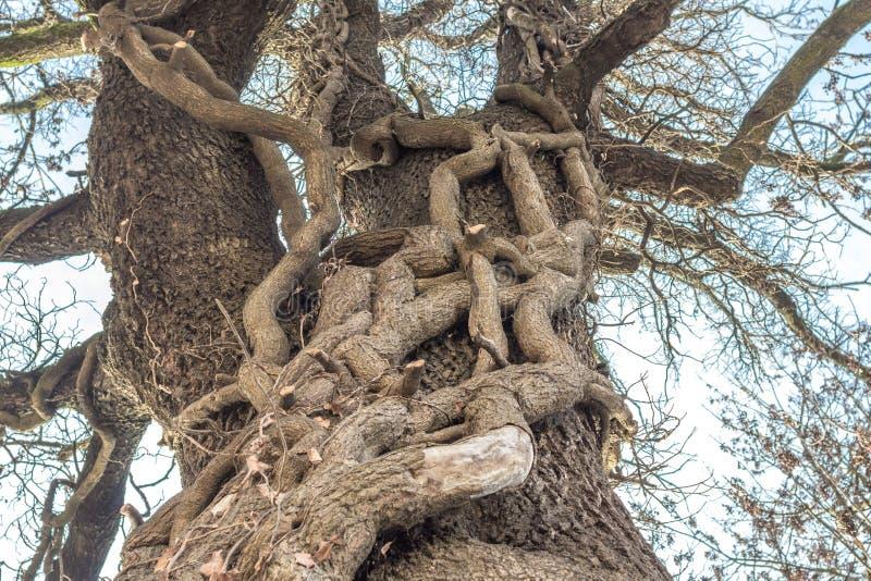 Intergrown stammar av två träd fotografering för bildbyråer