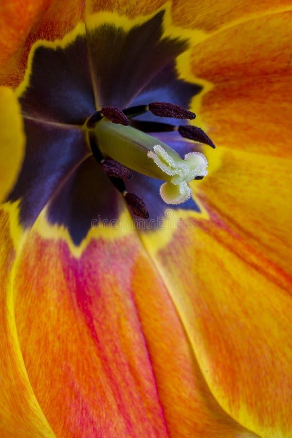 Interior de un tulipán rojo foto de archivo