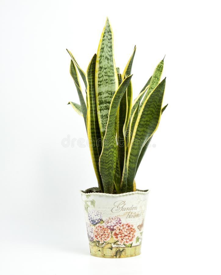 Sansevieria trifasciata or Snake plant in pot on a white background stock images