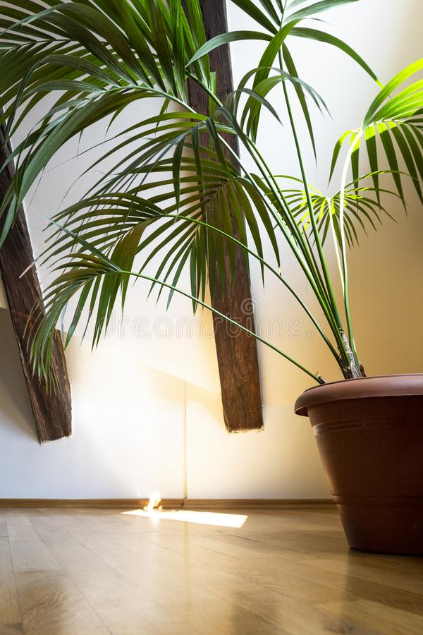 Interior of empty attic floor living room with dark beams ceilings and palm leaves in flower pot with shadow in light background.  royalty free stock photo