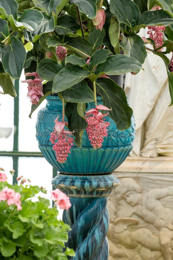 Pink Medinilla Magnifica in oriental vase in The Embarcadere at the The Royal Greenhouses at Laeken, Brussels, Belgium.. Medinilla Magnifica in oriental vase in royalty free stock photos