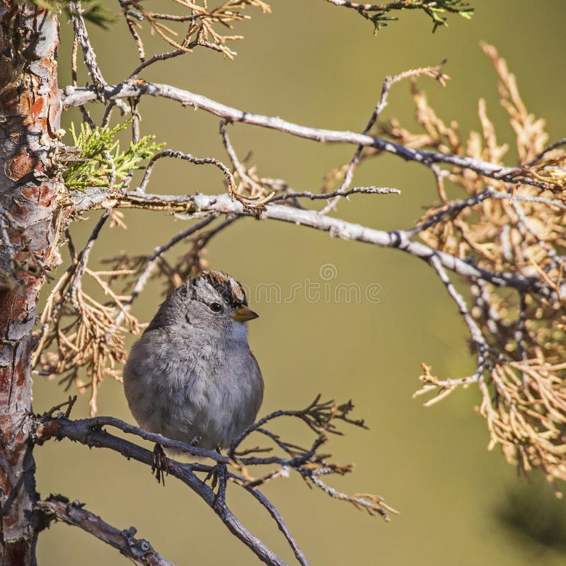 Download Interior West White-crowned Sparrow Zonotrichia Royalty Free Stock Photos - Image: 34461868