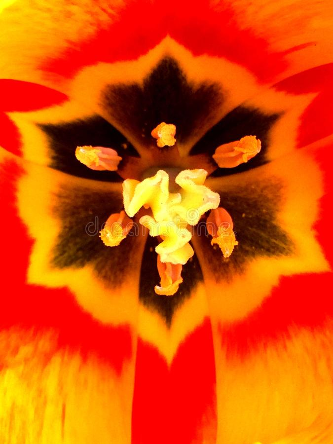 Interior yellow and red tulip close up stock photography