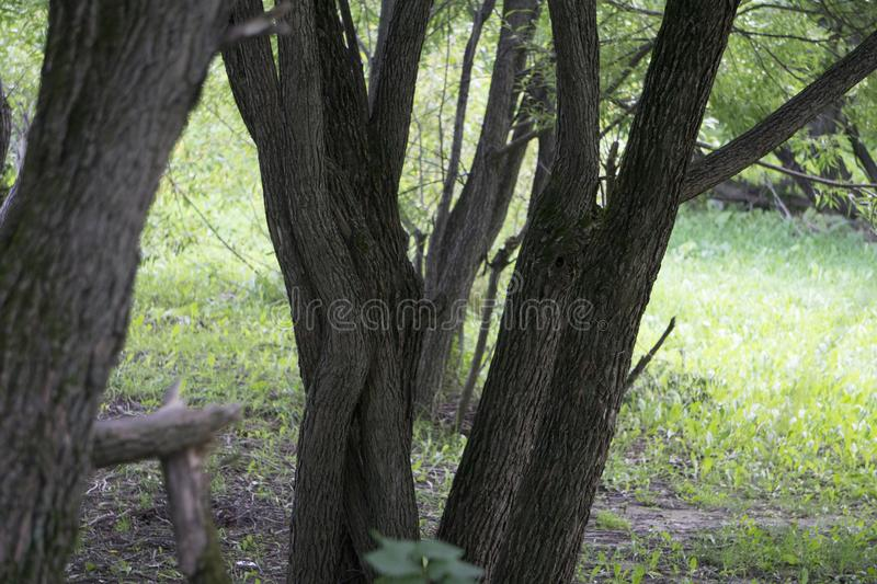 Interlacing trunks of willow. Autumn in the park. royalty free stock photo