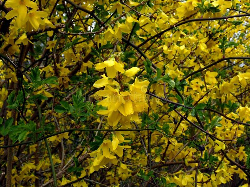 Intermedia amarillo de la forsythia del arbusto floreciente imagen de archivo