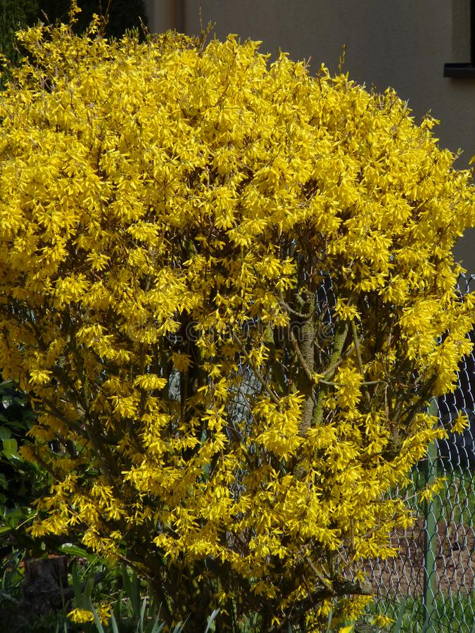 Intermedia amarillo de la forsythia del arbusto floreciente fotografía de archivo