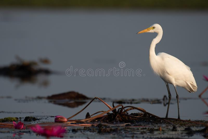 Intermediate Egret stand on lotus in wetland area. royalty free stock photos