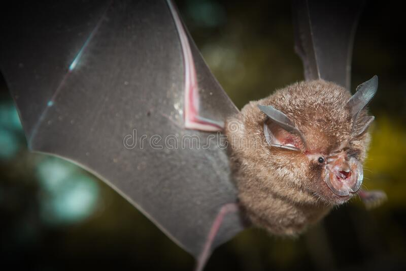 Intermediate Horseshoe Bat Rhinolophus affinis. That live in caves Is a nocturnal animal Foul and dirty These bats are a collection of many diseases. And Colona royalty free stock photography