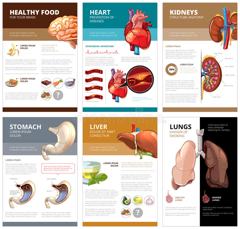 Internal Human Organs Chart Diagram Infographic Vector Brochure