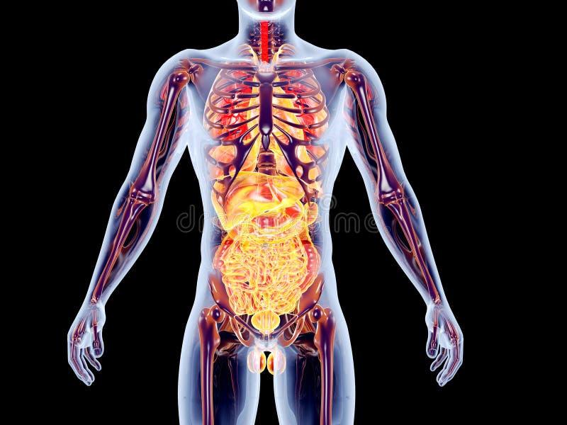 Internal Organs stock illustration. Illustration of illustration ...