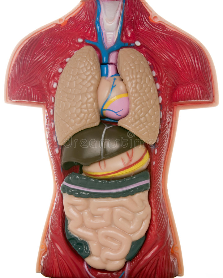 Internal Organs stock photography
