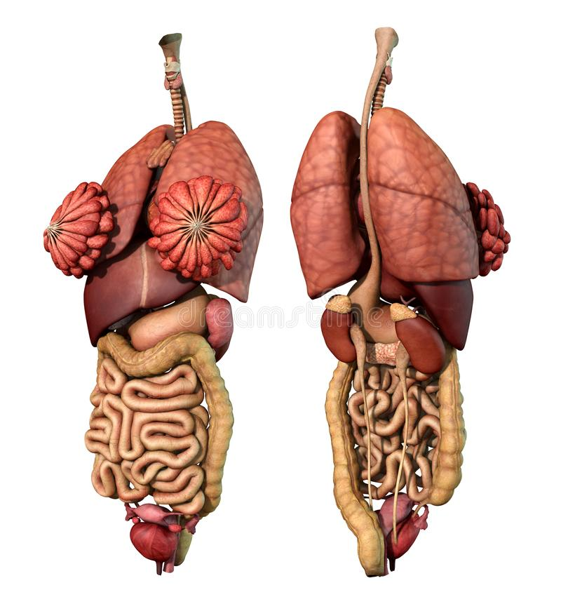 Internal Organs- Adult Female - Front and Back View stock illustration