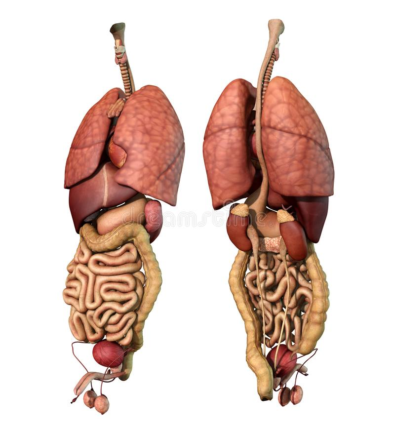 Internal Organs- Adult Male - Front and Back View stock illustration