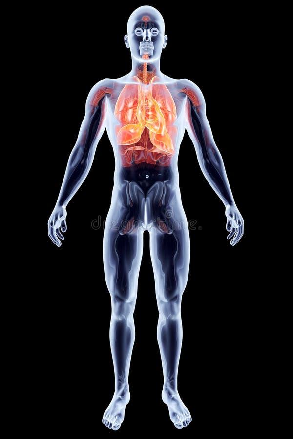 Download Internal Organs - Lungs stock illustration. Illustration of bronchus - 29228967