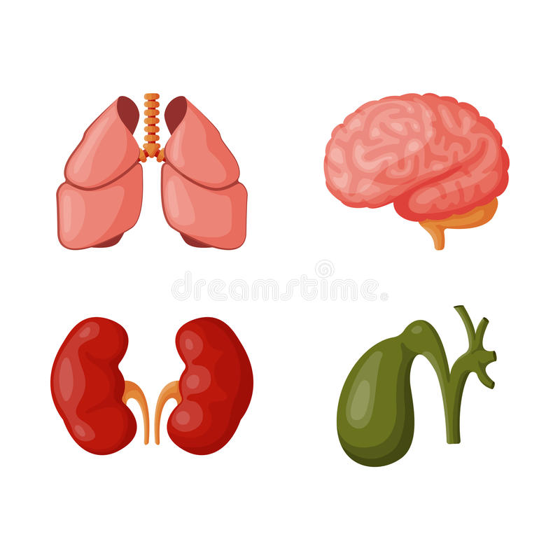Internal organs vector illustration. Human internal organs medicine anatomy element vector illustration. Respiratory people body part structure. Science system stock illustration