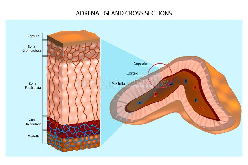 Internal structure of the adrenal gland showing the cortical layers and medulla stock illustration