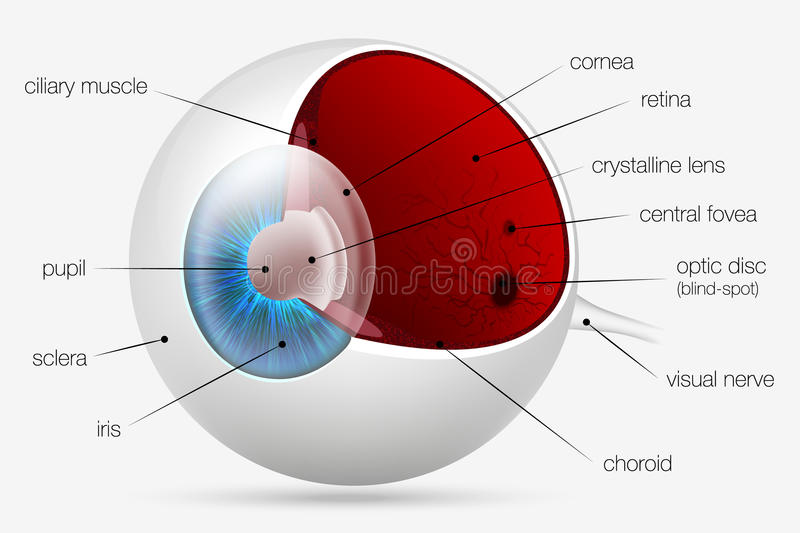 Internal structure of the human eye. Vector royalty free illustration