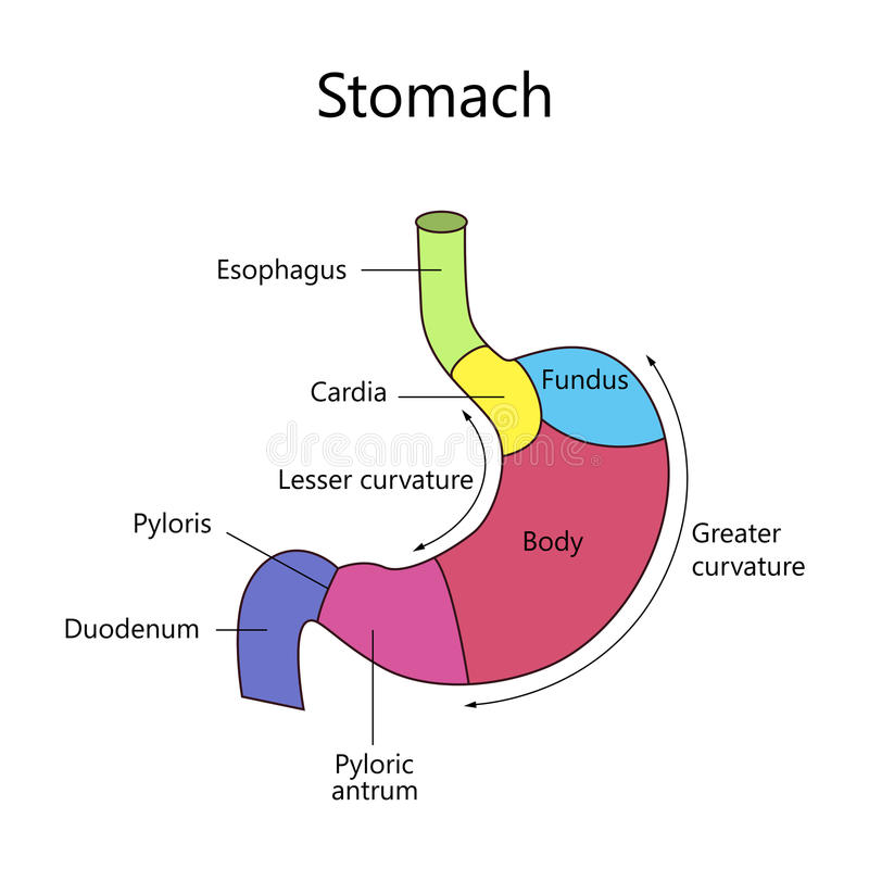 Internal Structure Human Stomach vector illustration
