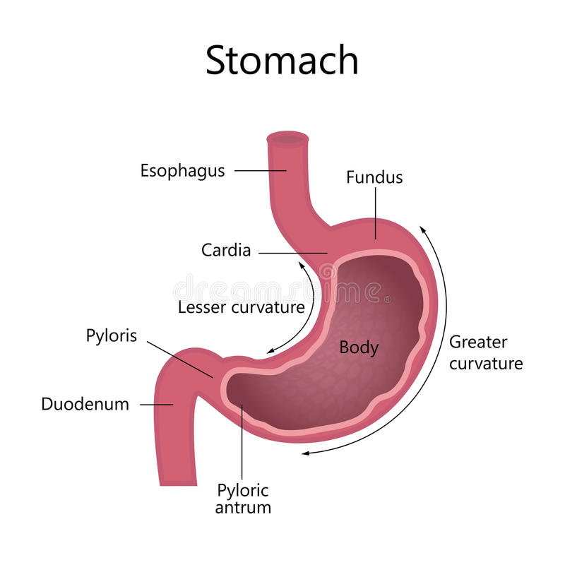 Internal Structure Human Stomach Stock Vector