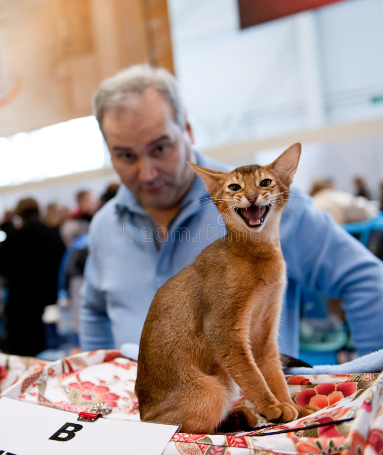 International exhibition of cats. MOSCOW - MARCH 6: Unidentified member of the exhibition demonstrates the cat at international exhibition of cats Catsburg on royalty free stock photography