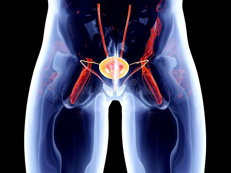 Interne Organen - Blaas vector illustratie