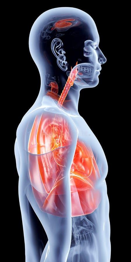 Interne Organen - Longen stock illustratie