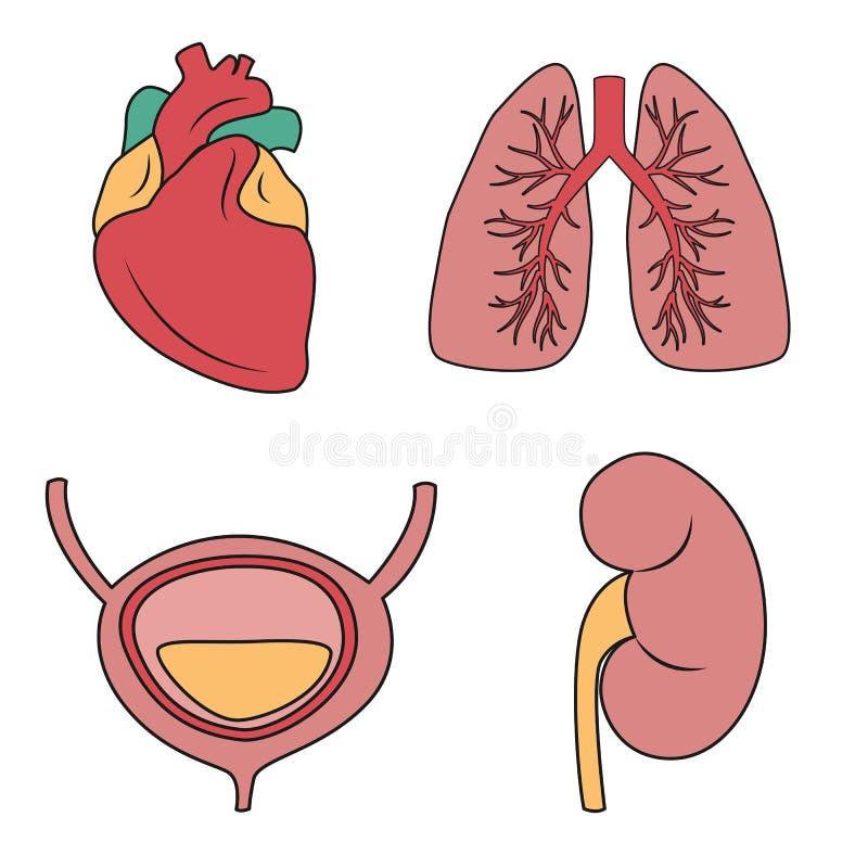 Interne organen vectorillustratie Vectortekening van hart, longen, blaas, nier royalty-vrije illustratie