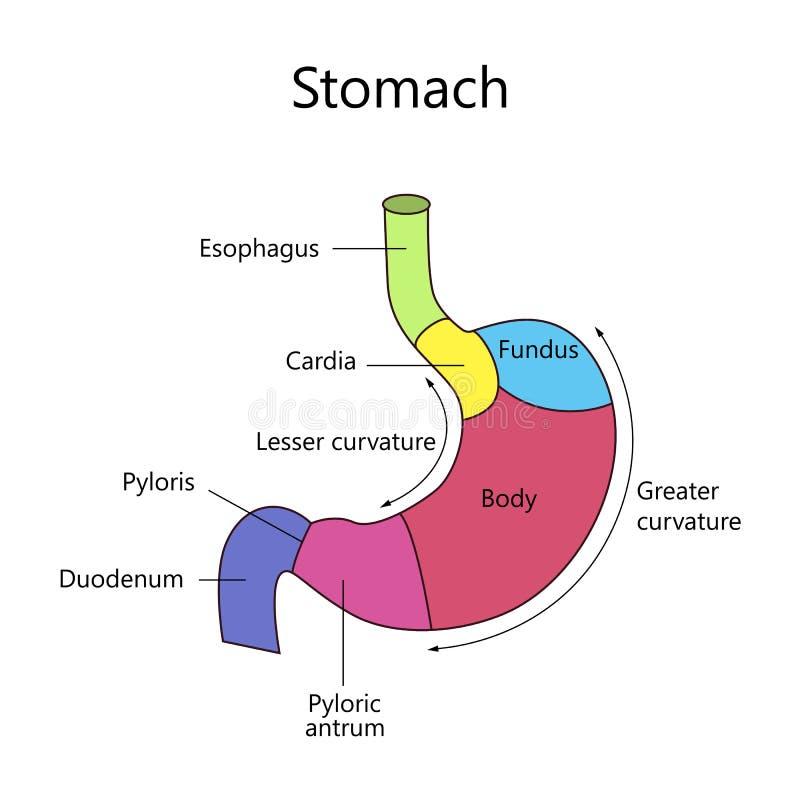 Interne Structuur Menselijke Maag vector illustratie