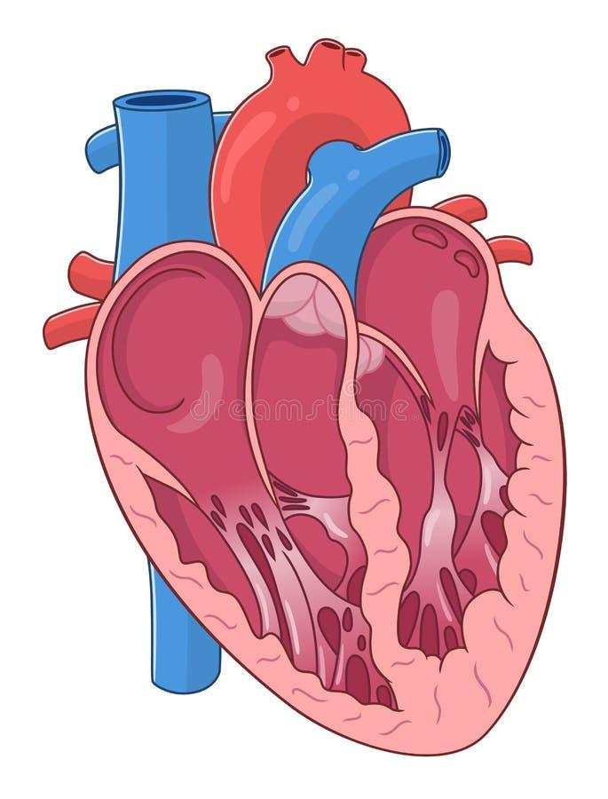 Interne structuur van het hart vector illustratie
