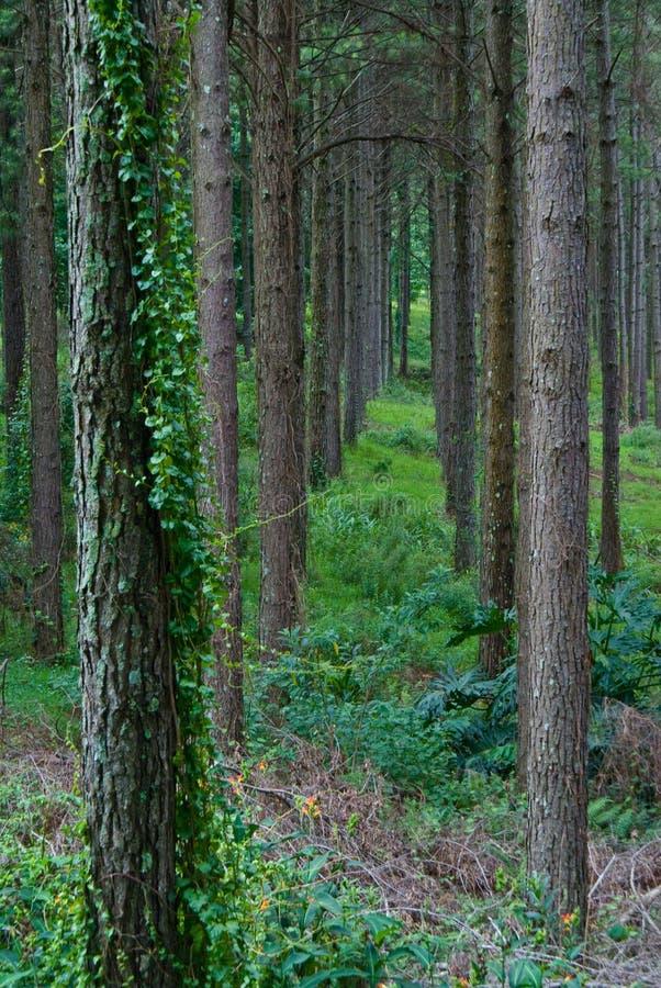 Interno della piantagione del pino fotografie stock
