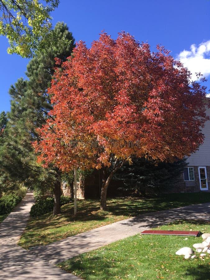 Intero albero della copertura rossa delle foglie fotografie stock libere da diritti