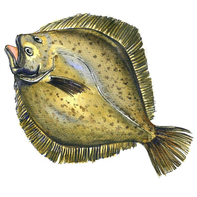 Intero pesce crudo fresco della passera di mare, pesce piatto, dimenamento, isolato, illustrazione dell'acquerello illustrazione vettoriale