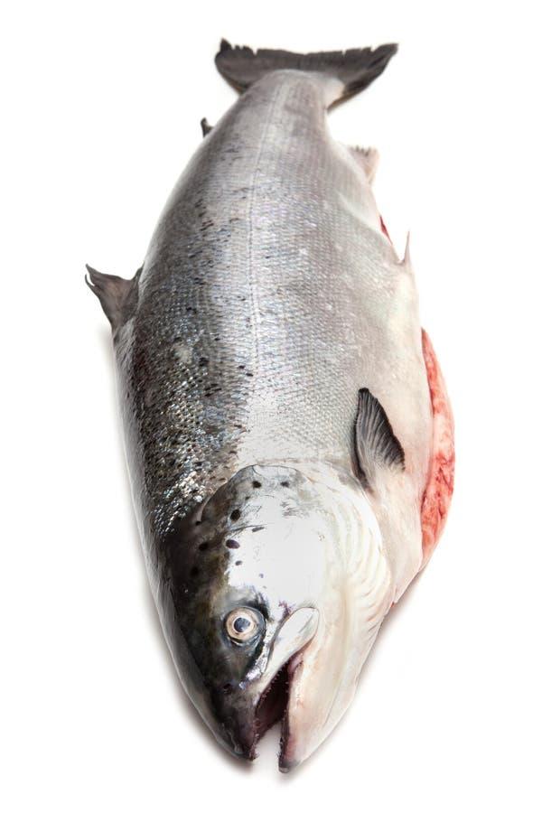 Intero pesce di color salmone scozzese isolato su un fondo bianco dello studio fotografia stock