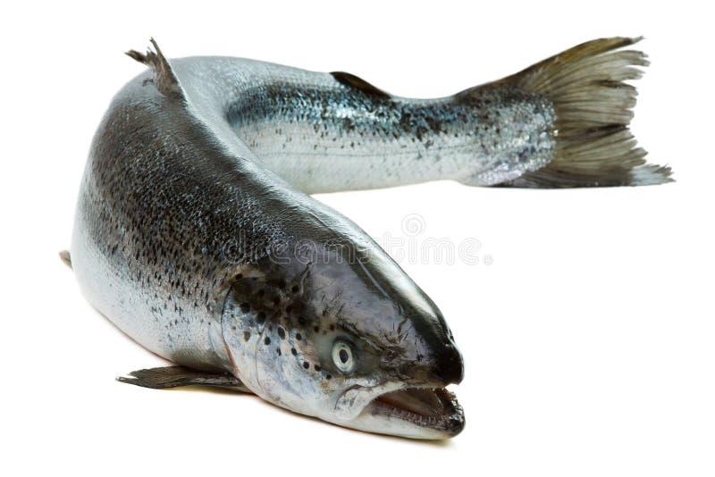Intero salmone isolato su bianco fotografie stock
