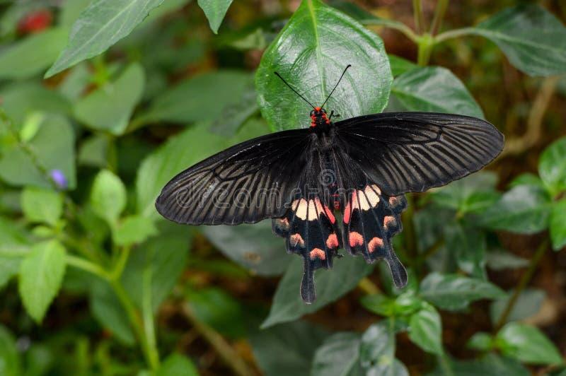 Interpositus de los aristolochiae de Pachliopta, también conocido como mariposa color de rosa del campo común o swallowtail rojo- imagen de archivo libre de regalías