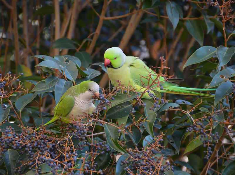 Interracial couple of exotic parrots. Exotic parrots eating fruits on the tree in the jungle stock images