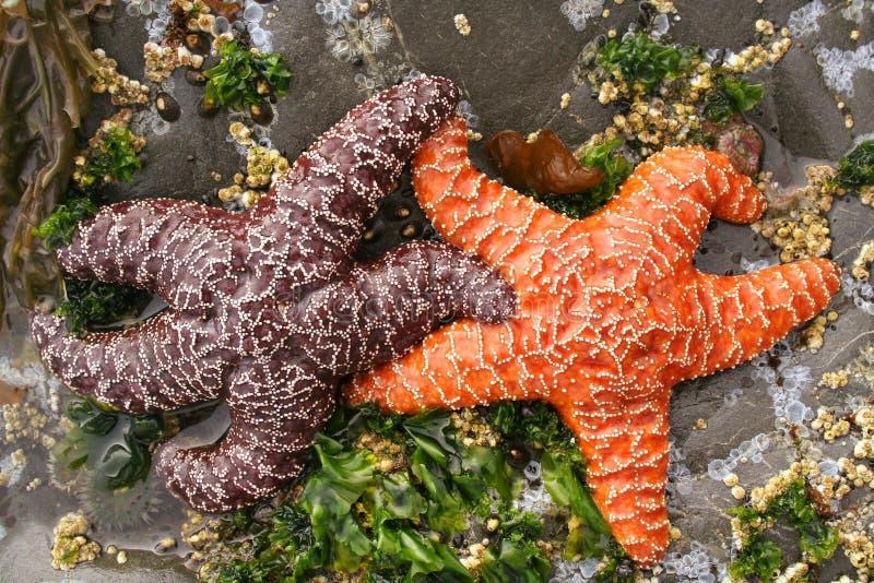 Interracial Starfish Couple royalty free stock photos