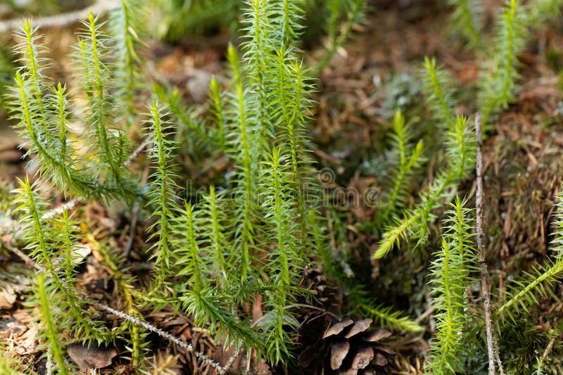 Interrupted club moss, Lycopodium annotinum. Plant of an interrupted club moss, Lycopodium annotinum, in a forest stock image