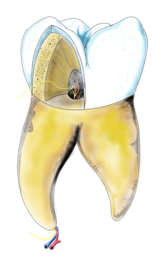 Intersection transversale de dent illustration libre de droits