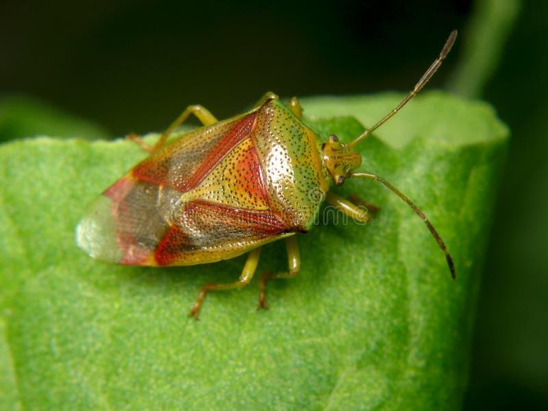 Interstinctus Elasmostethus στοκ εικόνα με δικαίωμα ελεύθερης χρήσης