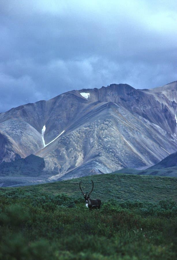 intervalle de caribou de taureau de l'Alaska image stock