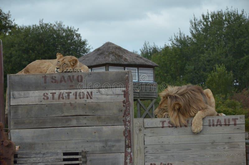 Intervallo di pranzo con i leoni sul treno fotografie stock