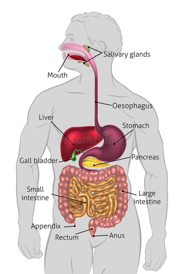 Intervalo humano do sistema digestivo ilustração stock