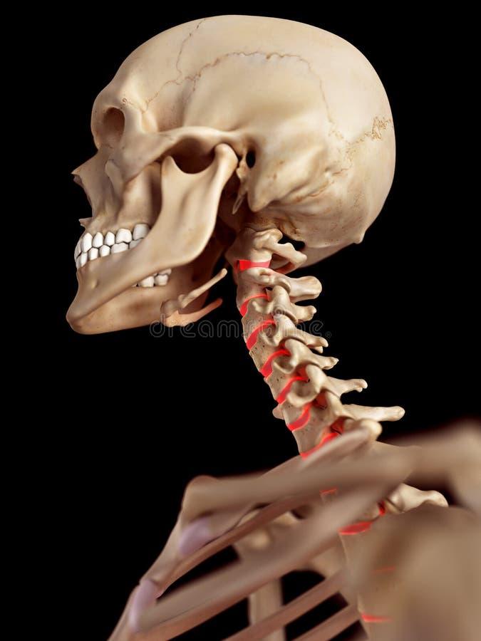 The intervertebral discs. Medical accurate illustration of the intervertebral discs vector illustration