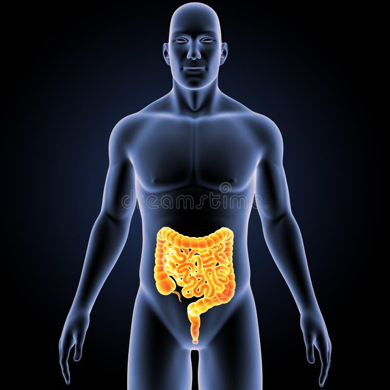 Intestin avec la vue antérieure de corps illustration stock