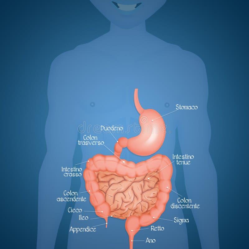 Intestin et estomac illustration stock